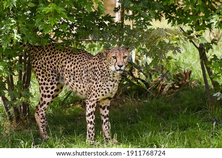 picture of cheetah in the nature