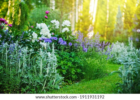 beautiful english style cottage garden view in summer with blooming peonies and companions - stachys, catnip, heranium, iris sibirica. Composition in white and blue tones. Landscape design. Royalty-Free Stock Photo #1911931192