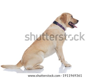 side view of a cute labrador retriever dog waiting in line and wearing a purple leash against white background Royalty-Free Stock Photo #1911969361