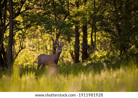 a deer in the forest looking at the camera in spring season. wild creature capreolus capreolus. Royalty-Free Stock Photo #1911981928