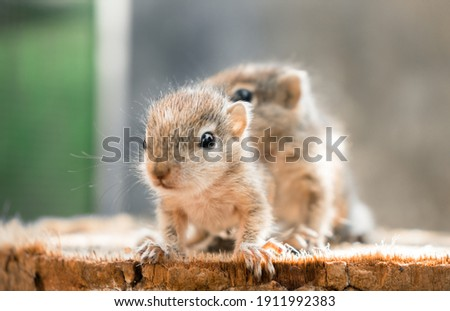 Small Squirrels lost in the wild, cute and adorable newborn orphan squirrel babies barely can walk and climb, three striped palm squirrels lean forward and look for their mother squirrel photograph.
