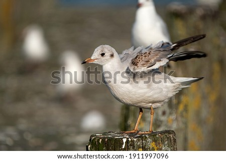 juvenile seagull spreading the wings standing on a wooden pole Royalty-Free Stock Photo #1911997096