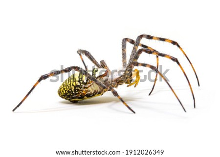 Colorful spider on white background, close up photo. Yellow black spider on white background. Tropical insect crab spider closeup photo. Exotic spider detailed macrophoto. Striped insect. Creepy bug.  Royalty-Free Stock Photo #1912026349
