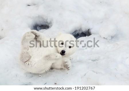 Portrait of a plaing polar bear baby on the snow