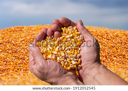 Farmer's Rough Hands Holding Corn Kernels Against the Pile Of Freshly Harvested Corn Grain. Handful of Grain Corn Heart-Shaped Pile. Close up of Peasant's Hands with Corn Kernels.  Royalty-Free Stock Photo #1912052545