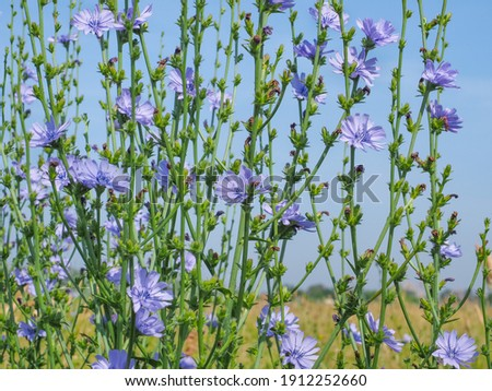 Beautiful floral landscape. Field of blue Chicory. Cichorium intybus flowers, called as blue sailors, coffee weed, or common succory is herbaceous, perennial plant of the dandelion family Asteraceae. Royalty-Free Stock Photo #1912252660