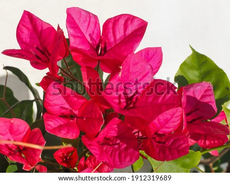 Red Paperflower or Bougainvillea glabra, close up in the white background. Flowering plant, family Nyctaginaceae. Evergreen, ornamental plant, woody vine, climbing shrub with bright pink flowers. Royalty-Free Stock Photo #1912319689