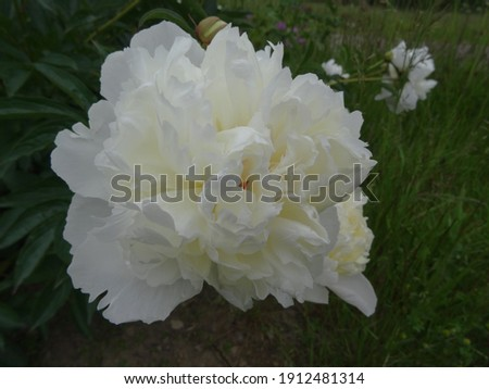 Picture of white peony flower