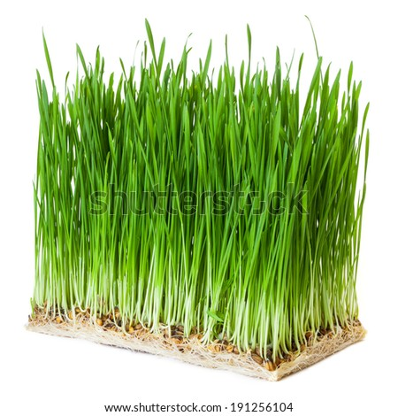 sprouts of green wheat grass on white background  #191256104
