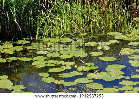 Water yellow lily, water flower growing in a pond. Water lily.