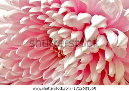 A gorgeous pink bloom angled and photographed to emphasis the natural pattern of petals, selectively focused. Royalty-Free Stock Photo #1912681558