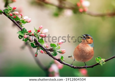 spring bird finch sits on a branch of a blooming pink apple tree and sings Royalty-Free Stock Photo #1912804504