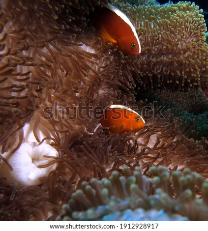 A pair of Skunk clownfish on an anemone Cebu Philippines