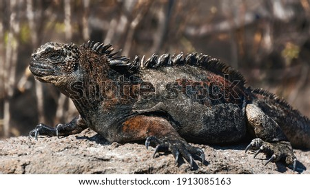 Close-up of a marine iguana sitting on a rock in the sun. The picture is taken on one of the Galápagos Islands.