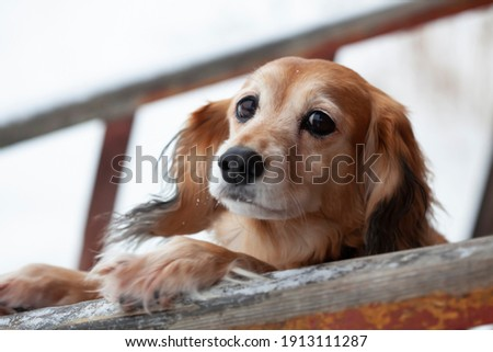 The red-haired dog has put its front paws on the crossbar and is looking at the camera. The dog is shaggy, not pedigree, of medium size. The frame is made close-up. Royalty-Free Stock Photo #1913111287