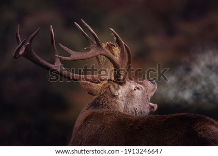Red Stag, Cervus Elaphus, with antlers and misty breath on an Autumn morning. Close image of Red Stag during the rutting season, with grass on antlers. Royalty-Free Stock Photo #1913246647