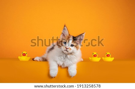 Gorgeous Maine Coon cat kitten, laying down on edge inbetween yellow rubber ducks. Looking to camera with attitude. Isolated on orange background. Royalty-Free Stock Photo #1913258578
