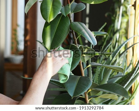 The woman wipes the dust off the leaves with a damp soft cloth. Correct care of indoor plant rubber tree. Ficus elastic. Floriculture and plant growing. Royalty-Free Stock Photo #1913292784