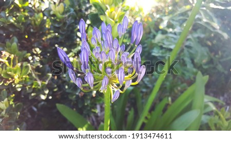 """Lily of the Nile, """"Peter Pan"""" (Agapanthus) with rounded clusters of a trumpet-shaped light blue flower blooming in the garden under the morning soft sunlight."""