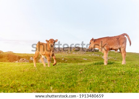 two calm and relaxed brown calves grazing in the green field at sunset. Calf looking at camera. Royalty-Free Stock Photo #1913480659