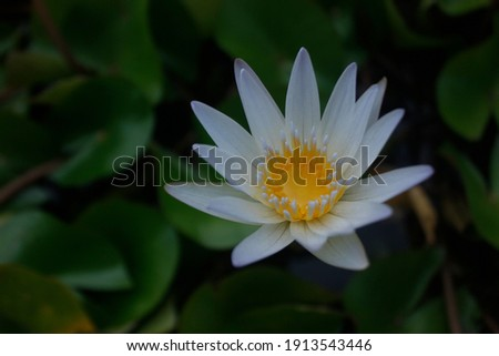 A beautiful white lotus in a pond. A high quality picture of a lotus flower