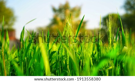 Protein rich grain plants of Wheat or Triticum in agriculture landscape. Tropical plant preparing during crop cycle. Royalty-Free Stock Photo #1913558380