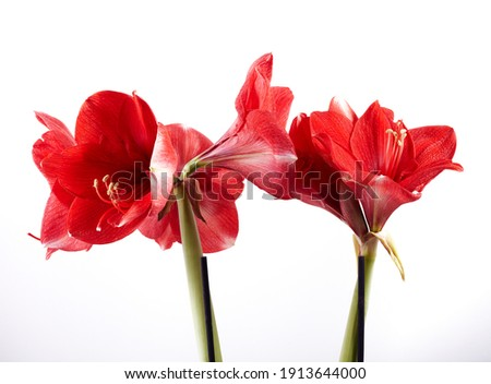 Amaryllis flowers isolated on white backgrounds macro photography