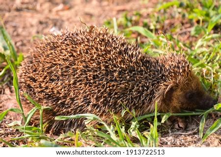 Photo Picture of an European Hedgehog Mammal Animal