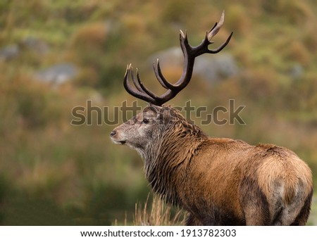 Red Stag with Majestic Antlers Royalty-Free Stock Photo #1913782303
