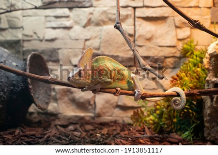 beautiful green-orange chameleon sits on a branch against the background of a kerp wall.  family of lizards that can change color Royalty-Free Stock Photo #1913851117