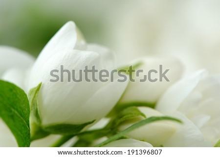 Beautiful White Jasmine Flowers
