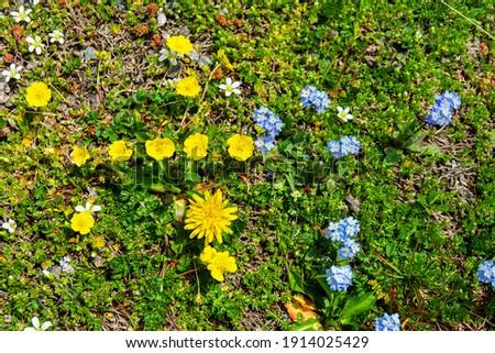 Alpine cinquefoil (Potentilla crantzii), Alpine forget-me-not (Myosotis alpestris) and Cerastium dominate in meadow communities. Upper limit of Alpine meadow. Elbrus region, Caucasus, 3500 m A.S.L Royalty-Free Stock Photo #1914025429