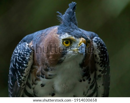 The ornate hawk-eagle (Spizaetus ornatus) is a fairly large bird of prey from the tropical Americas. Royalty-Free Stock Photo #1914030658