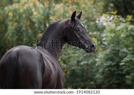 Portrait of a beautiful black arabian horse on natural green summer background, head closeup. Back side view Royalty-Free Stock Photo #1914082120