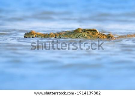 Crocodile with beautiful evening light. Nile crocodile, Crocodylus niloticus, with open muzzle, in the river bank, Okavango delta, Moremi, Botswana. Wildlife scene  from African nature.   Royalty-Free Stock Photo #1914139882