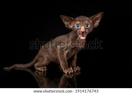 Little kitten of oriental cat breed of solid chocolate brown color with blue eyes is sitting against black background and meowing Royalty-Free Stock Photo #1914176743