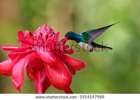 White-necked jacobin - Florisuga mellivora also great jacobin or collared hummingbird, Mexico, south to Peru, Bolivia and south Brazil, Tobago (flabellifera) and Trinidad (mellivora). Royalty-Free Stock Photo #1914197989