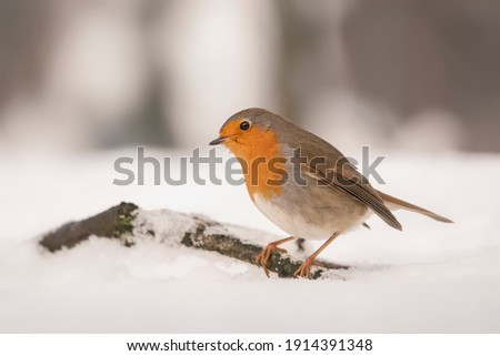 Beautiful European Robin (Erithacus rubecula) perched on a branch covered with snow in the forest of Overijssel in the Netherlands.