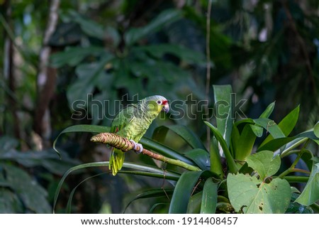 Red-lored Parrot, Amazona autumnalis, portrait of light green parrot with red head, Costa Rica. Detail close-up portrait of bird. Bird and pink flower. Wildlife scene from tropical nature Royalty-Free Stock Photo #1914408457