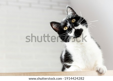 Close-up portrait of a gorgeous black and white cat, bottom view. Playful black kitten with white chest and mustache on a light gray background. Pet Day, World Cat Day. Copy space. Royalty-Free Stock Photo #1914424282