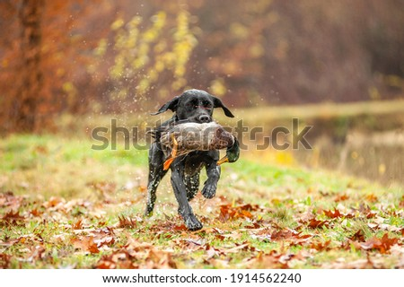 Black Labrador Retriever is running and fetching a duck. Duck hunting, labrador is retrieving game to hunter Royalty-Free Stock Photo #1914562240