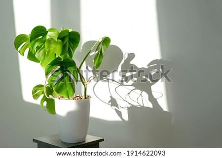 Monstera flower in a white pot on a grey background. The concept of minimalism. Monstera deliciosa or Swiss cheese plant in pot tropical leaves background. Daylight, harsh shadows . Royalty-Free Stock Photo #1914622093