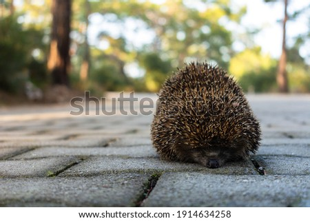 cute shy hedgehog rolled, curled up in a ball in the middle of a paved road on a blurry green background in the forest park. hedgehog running across the road
