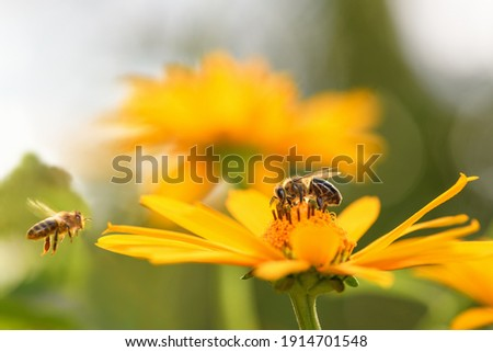 Bee and flower. Close up of a large striped bee collects honey on a yellow flower on a Sunny bright day. Macro horizontal photography. Summer and spring backgrounds Royalty-Free Stock Photo #1914701548