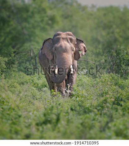 Tusker elephant in Yala National Park, Sri Lanka Royalty-Free Stock Photo #1914710395