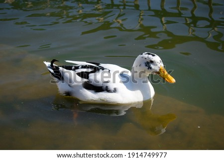 picture of white ancona duck floating in lake water.