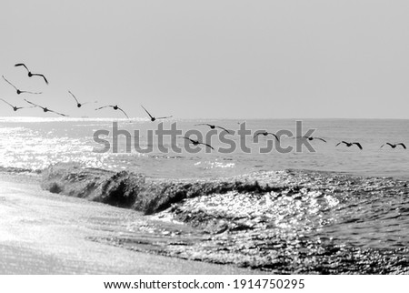 Pelicans flying over the pacific ocean, Pelecanus occidentalis, Guatemala volcanic beach, Monterrico, central america. Royalty-Free Stock Photo #1914750295