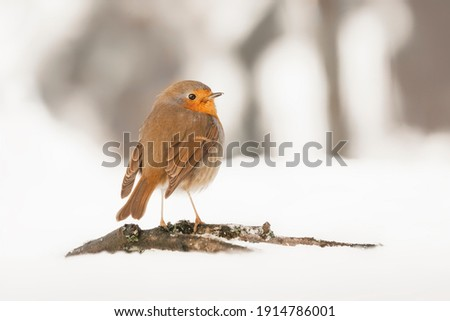 Beautiful European Robin (Erithacus rubecula) in the snow in the forest of Overijssel in the Netherlands.