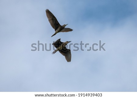 two black-crowned heron are flying in the blue sky. photo took in Hengqin wetlands park, Zhuhai city, China.