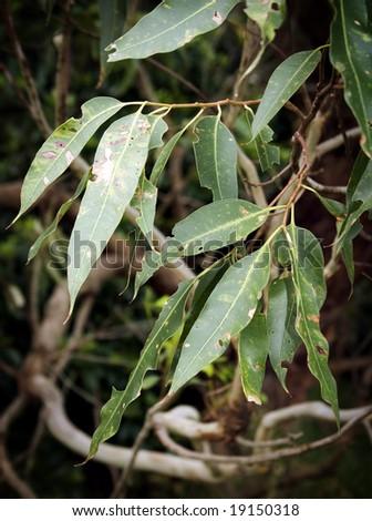 Australian gum leaves #19150318